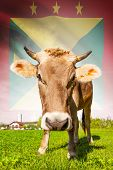 Cow With Flag On Background Series - Grenada