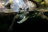 foto of crocodilian  - Gharial  - JPG