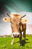 Cow With Flag On Background Series - Kuwait