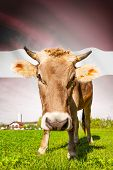 Cow With Flag On Background Series - Latvia
