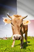 picture of texas state flag  - Cow with flag on background series  - JPG
