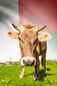 Cow With Flag On Background Series - Madagascar