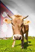 Cow With Flag On Background Series - Nepal