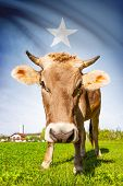 Cow With Flag On Background Series - Somalia