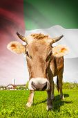 Cow With Flag On Background Series - United Arab Emirates