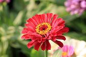 picture of zinnias  - Zinnia flower - JPG