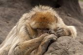 Barbary Macaque Looks At You Secretly