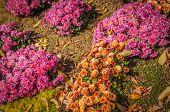 Flower Bed With Shrubs Chrysanthemum