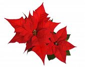 Poinsettia Isolated On White