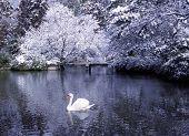 Beautiful swan lake in winter scene.