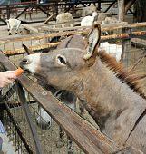 Feeding donkey at the farm (zoo)