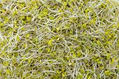 Broccoli Sprouts (close-up Shot)
