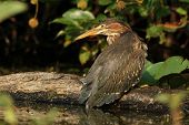 Juvenile Green Heron Perched On A Fallen Log