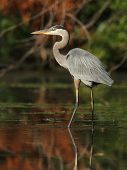Great Blue Heron Wading In A Shallow River - Ontario, Canada