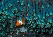 picture of clown fish  - A clown fish pokes it - JPG