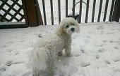A Bichon in the snow