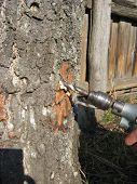 extraction of birch juice