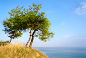 Three Pine Trees On A Hill On Background Of Blue Sky And Sea