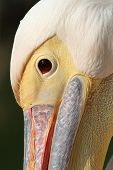 Great Pelican Close Up