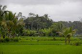 Beautiful Rice Farmland On Bali, Indonesia