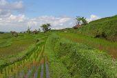 Bali Rice Terraces With Farmer Huts