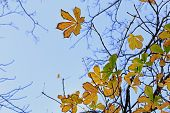 Chestnut  Leaves On Blue Sky Background