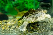 Image Of Freshwater Exotic Turtles Matamata
