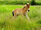 foto of horse plowing  - Photo of Foal on a spacious green meadow - JPG