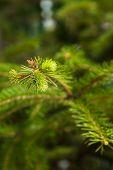 Pine tree green branch