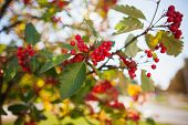 rowanberry tree in autumn