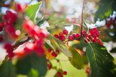 rowanberry tree in autumn