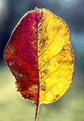 Beautiful Two-tone Autumn Leaf