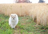 stock photo of puppy dog face  - white pomeranian puppy dog in rice field - JPG