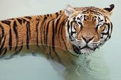 Picture Of A Beautiful Tiger In The Water