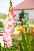 Pink And White Gladiolas