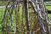 Spring young birch