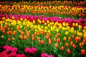 Stripes of  tulips flowerbed
