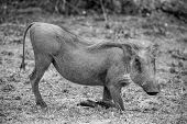 Grazing Warthog