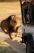 foto of chase  - Lion chasing a safari truck in Hwange NationalPark - JPG