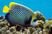 stock photo of emperor  - Emperor angelfish  - JPG