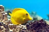 Yellow tang - Zebrasoma flavescens