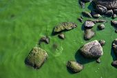 pic of shoreline  - A very algae filled water on the shoreline - JPG