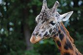 Rothschild's Giraffe (Giraffa camelopardalis rotschildi)