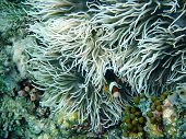 picture of clown fish  - Clown fish at photo took underwater off Manado island Indonesia - JPG