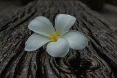 Closeup Plumeria