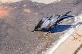 image of raven  - Thirsty raven getting a drink from a very shallow puddle left from melting snow in a parking area - JPG