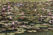 stock photo of ponds  - image of waterlily - JPG