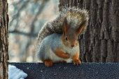 Squirrel On A Tree  In Winter Forest.