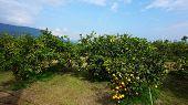 Beautiful Orange Groves