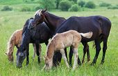 Horses And Foals Eat A Grass On A Summer Pasture